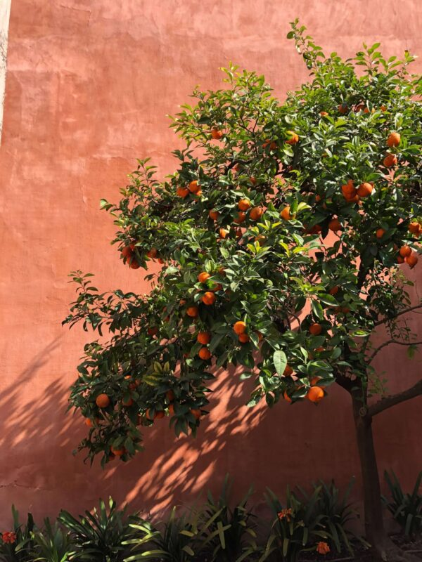 orange tree on terracotta wall seville andalusia